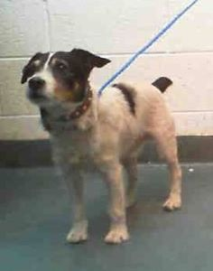 ACE (A1677454) I am a male white and black Jack (Parson) Russell Terrier.  The shelter staff think I am about 5 years old.  I was found as a stray and I may be available for adoption on 02/09/2015. —t  Miami Dade County Animal Services. https://www.facebook.com/urgentdogsofmiami/photos/pb.191859757515102.-2207520000.1423435743./922260574475013/?type=3&theater