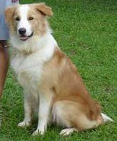 Clear sable border collie...just like Ellie Mae!