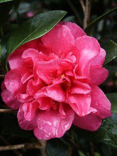 Camellia sasanqua 'Sparkling Burgundy' - 15' tall