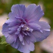 'Blue Chiffon' Hibiscus