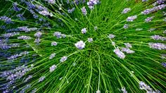 How to make an essential oil of lavender avoiding waste - avoiding - Home Cleaning