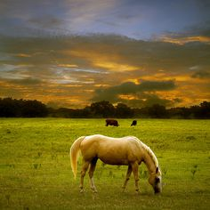 Golden Palomino. I love palominos!!! I really do....