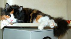Astor enjoying a catnap on her shelf at Hypurrcat.