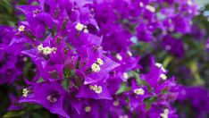 Grow these vibrant bougainvillea vines over verandas and archways for year-round color. Plum Flowers, Exotic Flowers, Fence Plants, House Plants, Bougainvillea Colors, Purple Garden, Flowering Vines, Plant Design, Planter Boxes