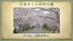 【(Japan)日本さくら名所百選】宮川堤(三重県伊勢市)[Beautiful cherry blossoms in Japan]