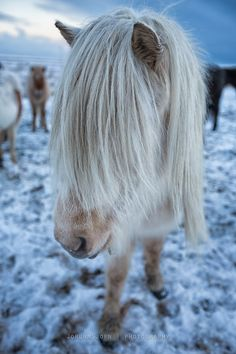 Blondes have more fun | Icelandic Horse