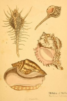 dendroica:  n6_w1150 by BioDivLibrary on Flickr. Beautiful shells London :Groombridge and Sons,1856.biodiversitylibrary.org/item/42907