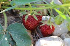 Startuje jahodová sezona. Dukát, Korona, Sonáta i Lambada, to jsou naše oblíbeňkyně. Strawberry, Fruit, Food, Essen, Strawberry Fruit, Meals, Strawberries, Yemek, Eten