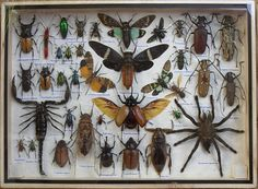 REAL Multiple INSECTS BEETLES Spider Cicada Scorpion Collection in wooden box/big size/is07t. 53,12e