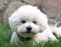 Kelsey's New Adventures! A Bichon Frise puppy blog...