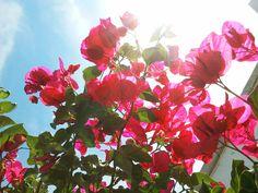 ramas de una buganvilla a contraluz Branches, Plants, Flowers