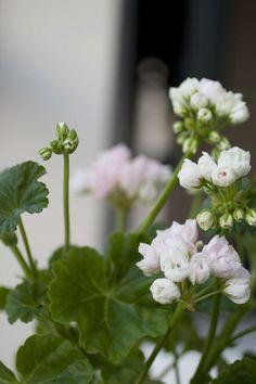 Mårbacka Tulpanpelargon är ett resultat av naturens nyck, som lyckligtvis uppmärksammades av av en nyfiken odlare på Förslövs Handelsträdgård. Kronbladen är halvt slutna vilket gör att varje liten blomma i klasen ser ut som en pytteliten tulpan.