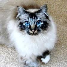 Birman <3 It's the most beautiful cat breed :) if I had to get a cat, it would be a birman.