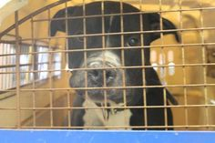 TO BE DESTROYED 9/9/14 Manhattan Center   My name is TRISTIN. My Animal ID # is A1012135. I am a male black and white pit bull mix. The shelter thinks I am about 2 YEARS old.  I came in the shelter as a SEIZED on 08/28/2014 from NY 10458, owner surrender reason stated was SEARCH WAR. I came in with Group/Litter #K14-192104.