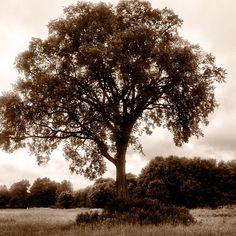 Elm Tree, Brattlebrook Park, Pittsfield, Mass. #Berkshires