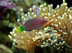 Six Line Wrasse... he bailed one day when we were at work :(