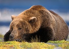 Hibernating wolf | Not all experts are convinced that grizzlies technically hibernate ...