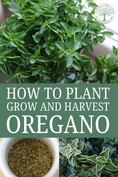 Everything you should know about growing oregano: varieties planting tips harvesting preservation recipes and more. Everything you should know about growing oregano: varieties planting tips harvesting preservation recipes and more. Herb Garden Design, Diy Herb Garden, Fruit Garden, Herbs Garden, Garden Seeds, Gardening For Beginners, Gardening Tips, Oregano Plant, Comment Planter