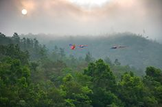 Scarlet macaws flying over the Mountain Pine Ridge of Belize. (Birds)