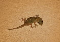 In the following section, we will see some natural, simple and effective home remedies to get rid of lizards.