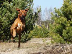Lion Dog, Born To Run, Rhodesian Ridgeback, Beautiful Dogs, Great Photos, African, Shoe, Puppies, Running