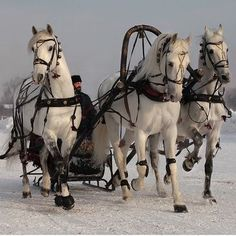 A troika is a traditional Russian driving combination, harnessing three horses abreast, to pull a sleigh. Pretty Horses, Horse Love, Beautiful Horses, Horse Harness, Harness Racing, Belgian Horse, Westerns, Horse Gear, Horse Carriage