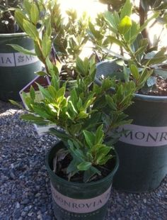 Bay Laurel Plant  - Bought one at Good Earth.  From Greenleaf Nursery Company.  $29.95  Sku is 008776576279