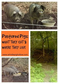 Pastured Pigs: What They Eat And Where They Live | Whistle…