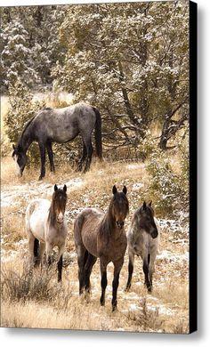 Wild Horse   Equus Ferus Equus Caballus Canvas Print / Canvas Art By Carol Gregory / North Dakota