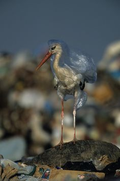 #JunkFood Loving #Birds Diss #Migration, Live on Landfill - Smart or sad? :(  (via National Geographic)