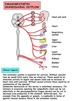 Instant Anatomy - Head and Neck - Nerves - Autonomic - Outflow, craniosacral Gross Anatomy, Brain Anatomy, Medical Anatomy, Anatomy And Physiology, Medical Coding, Medical Science, Neurological System, Eye Facts, Medical Mnemonics