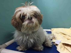 SAFE--- Anarchy Animal Rescue  TO BE DESTROYED 7/19/15 My name is FIYA. My Animal ID # is A1044004. I am a female tan and white shih tzu. The shelter thinks I am about 4 YEARS old.  I came in the shelter as a STRAY on 07/14/2015 from NY 11213, owner surrender reason stated was STRAY.