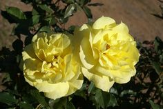 Friesia | Ludwigs Roses: Pointed buds slowly unfold into long lasting, semi-double & slightly curly, clear, unfading yellow blooms. Vigorous, compact & healthy. Clusters & individual blooms are constantly produced. An outstanding performer & one of the few fragrant yellow roses.