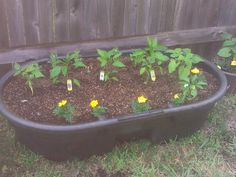 Container vegetable garden green beans, peas, peppers, carrots & marigolds