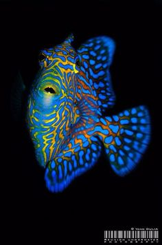 Triggerfish Vermiculate Juvenile - by Yann Oulia #ocean #saltwaterfish