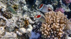 The Red Sea Crown #Butterflyfish couple swims around in the Red Sea. On the left you can see the colourful Klunzinger #Wrasse.  Copywrite Johanna Hurmerinta