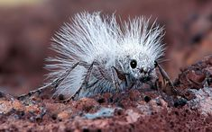 A Thistledown Velvet Ant, also known as a Cow Killer, is seen in the Mojave Desert, California. It isn't really an ant, but a wingless female wasp. This photograph was taken by Robert Jensen after his son Chris found the unusual insect wandering around on the desert floor. The female wasp is about 2cm long; the males are much smaller and have wings. Their sting can be quite painful.