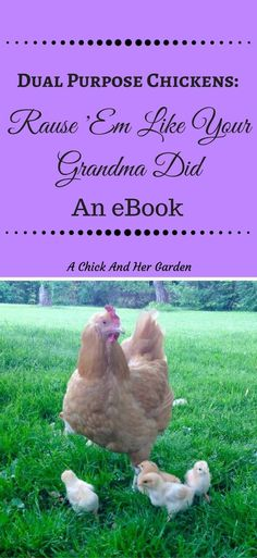 Learn How To Raise Your Chickens The Old Fashioned Way This past month I haven't been quite as active in my posting, and I have felt so bad about it! But it has been for big things, I have written my first eBook!!! Pin Me For Later!! When we first started raising chickens we knew …