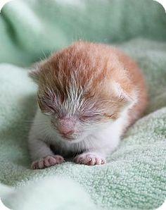 Brooklyn, NY - Domestic Shorthair. Meet Donald Goofy kittens, a kitten for adoption. http://www.adoptapet.com/pet/10848038-brooklyn-new-york-kitten