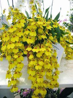 Cherish the Day Orchids Garden, Orchid Plants, Air Plants, Garden Plants, Yellow Birds, Yellow Flowers, Cactus, Backyard, Gardening
