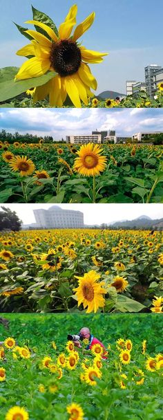 Did you know Hangzhou's university campuses are great for viewing yellow sunflowers? #travelogue #travel #Hangzhou #beautiful #scenary #photography  #gorgeous #romantic #urbanlife #urbanite #city #citylife #nature #WestLake #sunset #flowers