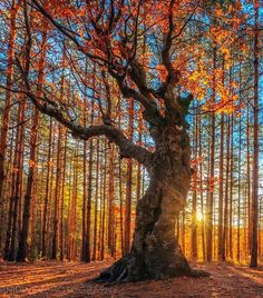 King of the Forest, Autumn sunrise in Rhodope Mountains, Bulgaria