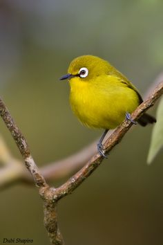 Malagasy White-Eye - Zosterops maderaspantanus - This bird of the family Zosteropidae enjoys a diverse variety of habitats which include moist and dry lowland, montane and mangrove forests. It is found on Comoros, Madagascar, Mayotte and Seychelles - Image : © Dubi Shapiro / December 15, 2010