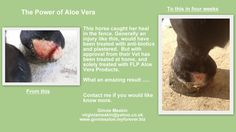 A horse caught its heel and was treated with aloe vera products