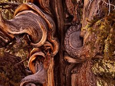 Entitled 'Before Rome, Before Buddha, Before Jesus, Stood This Tree'      Photograph of a 4000 year old bristle-cone pine bonsai by Peter Prehn