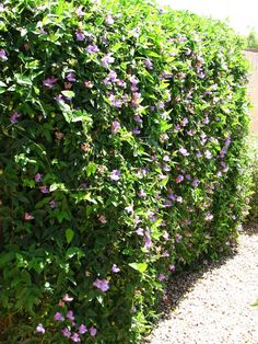 Snail Vine for the cement walls of the yard. Grows fast and tolerates the desert... and I love the flowers!