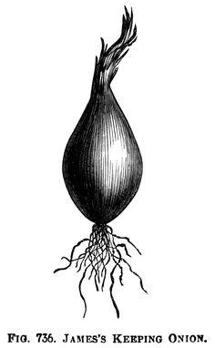 Three Varieties of Onions ~ Free Vintage Clip Art