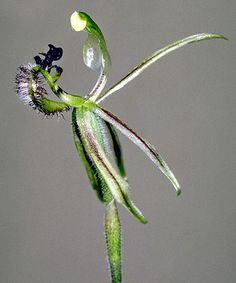 The Common Dragon Orchid (Drakonorchis barbarossa) – a unique western Australian ground orchid that mimics a wingless female wasp to entice the male to mate, to effect pollination. Photo: Mark Clements