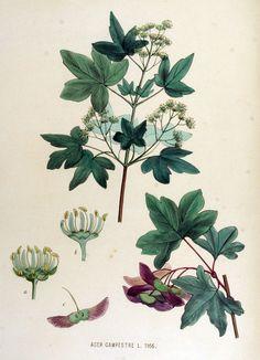 Acer campestre en Jan Kops, Flora Batava of Afbeelding en Beschrijving van Nederlandsche Gewassen, XV. Deel, 1877