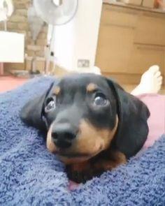 Weenie Dogs, Dachshund Puppies, Baby Puppies, Cute Puppies, Cute Dogs, Dogs And Puppies, Chihuahua, Vintage Dachshund, Funny Dachshund